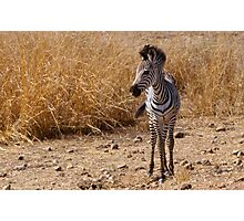 Watchful zebra foal in Zambia Photographic Print