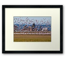 Skagit Valley Snow Geese Framed Print
