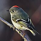 Ruby-crowned Kinglet Close-up  by Chuck Gardner