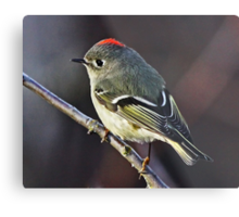 Ruby-crowned Kinglet Close-up  Metal Print