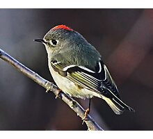 Ruby-crowned Kinglet Close-up  Photographic Print