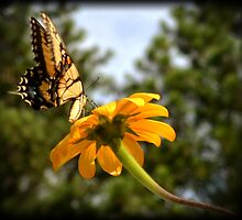 Lifted Wings Swallowtail by Eva Thomas