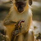 Green Monkey of Barbados by Diana Nault