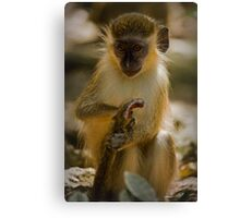 Green Monkey of Barbados Canvas Print