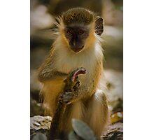 Green Monkey of Barbados Photographic Print
