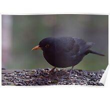amsel  blackbird Poster