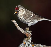 Figurine / Common Redpoll by Gary Fairhead