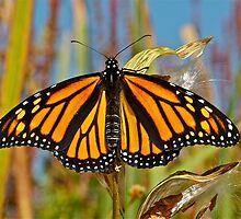 Monarch Butterfly by main1