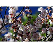 Flowering Apricot Photographic Print