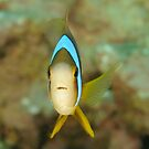 Barrier Reef Anemonefish - Amphiprion akindynos by Andrew Trevor-Jones