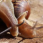 Best Friends - Garden Snail Cantareus aspersus by Rhonda F.  Taylor
