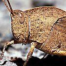 G'day - dead leaf grasshopper by Rhonda F.  Taylor