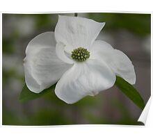 Dogwood Bloom - Oregon Spring Poster