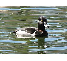 Ring-necked Duck ~ Male Photographic Print