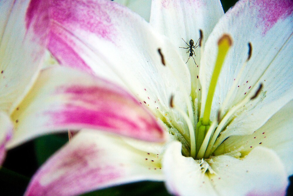 Ant Lily by Dave Wilson