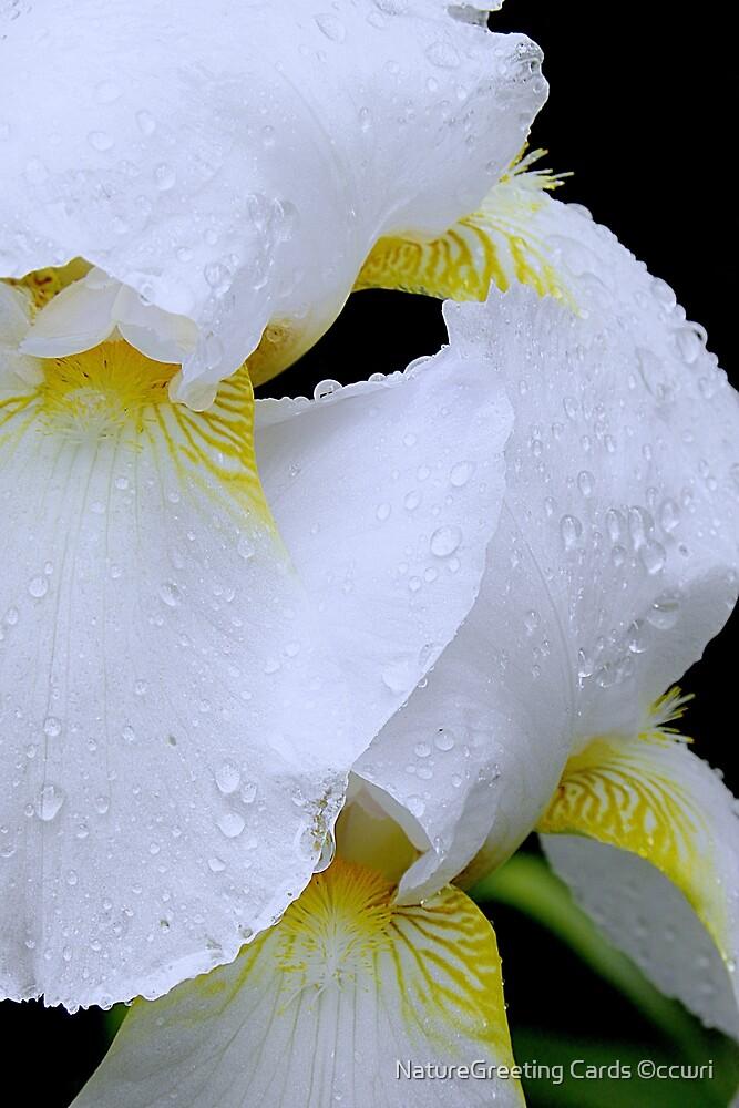 Iris Rain by NatureGreeting Cards ©ccwri