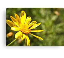 Daisy And Hover Canvas Print