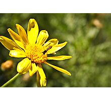 Daisy And Hover Photographic Print