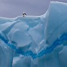 My Snazzy Iceberg (Kelp Gull, Pleneau Island, Antarctica) by Krys Bailey