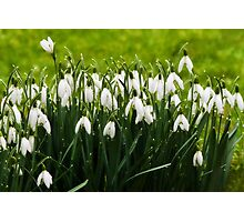 Snowdrops In The Rain ~ Lyme Regis Photographic Print