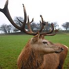 A Stag&#x27;s Grace by Dawn B Davies-McIninch