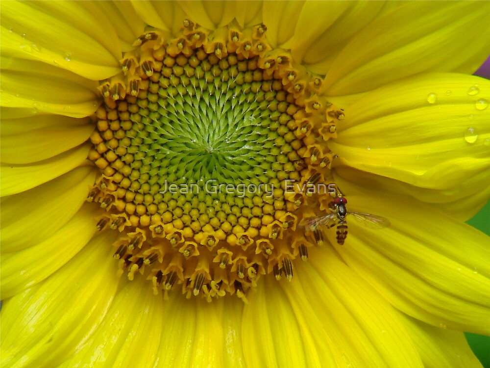 Hover Fly on small sunflower by Jean Gregory  Evans