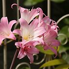 Belladonna Lilies by reflector