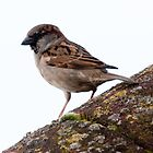 Sparrow on Roof by squonk1666