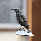 Starling on fence by squonk1666