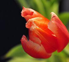 Lovely tulip by mltrue