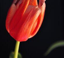 Simple single tulip by mltrue