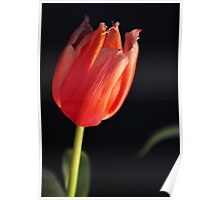 Simple single tulip Poster