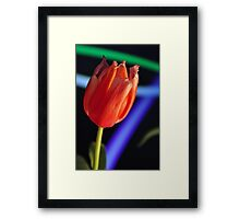 Tulip with blue and green streaks Framed Print