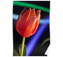 Tulip with blue and green streaks Poster