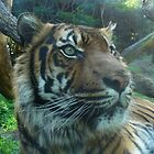 Sumatran tiger up close at Perth Zoo by DashTravels