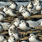 The Sanderling.. by Lilian Marshall