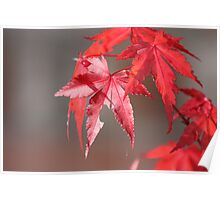 Red Japanese Maple Poster