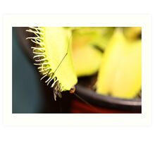 venus fly trap captures its lunch Art Print