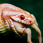lunch at last, corn snake feeding by thermosoflask
