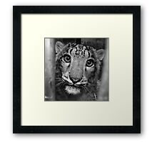 Nina the young snow leopard Framed Print