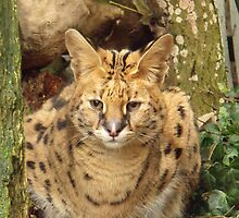 African Serval @ Cat Survival Trust in Welwyn by claireandcoco