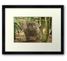 Pallas Cat @ Cat Survival Trust Framed Print
