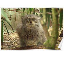 Pallas Cat @ Cat Survival Trust Poster