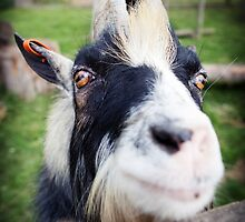 Nanny goat close-up at farm by Camille Wesser