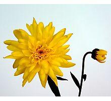 Yellow Chrysanthemum and friend  Photographic Print