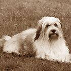 Tibetan Terrier 5 by Dragonfairy