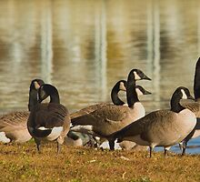 Gathering Of Canada Geese by Gene Walls