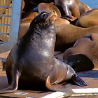 Sea Lions of Moss Landing by Bob Wall