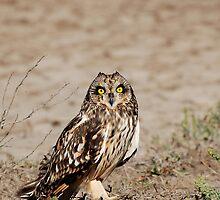 Cute - Short-eared Owl (Asio flammeus) by umang