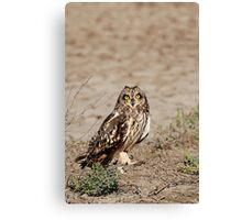 Cute - Short-eared Owl (Asio flammeus) Canvas Print